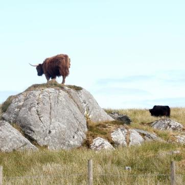 A posing cow